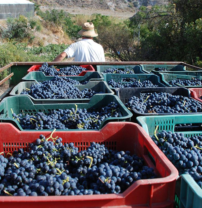 Uvas cargadas en camión